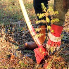 skovplantning