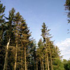 Foto 6: Rand, der er blevet eksponeret umiddelbart bag de to træer, afbildet foroven. Det er tydeligt at også her er der angrebne træer.