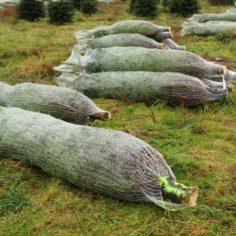 Nettede juletræer