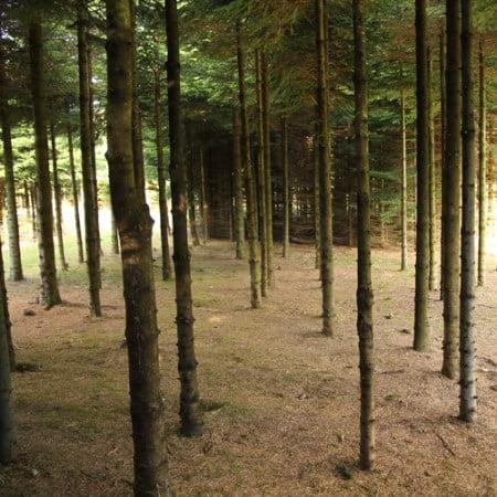 Ædelgran, stamtal på 3.700 træer pr hektar