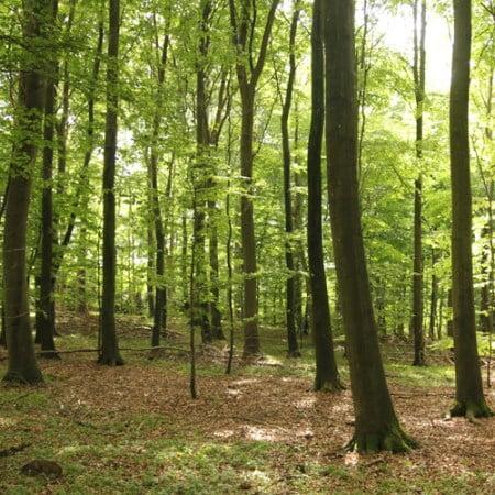 Bøgeskov, stamtal på 275 træer pr hektar