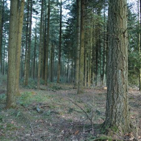 Douglasgran, stamtal på 450 træer pr hektar
