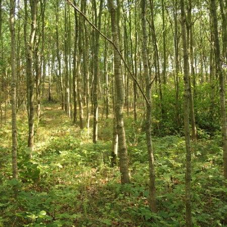 Egeskov, stamtal på 7.500 træer pr hektar
