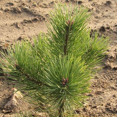 Grønne nåle på nåletræer