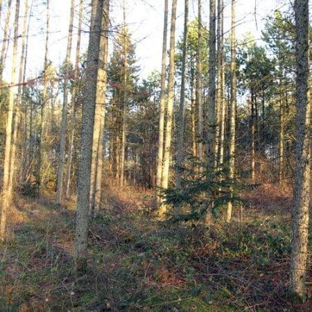 Lærk, stamtal 1.700 træer pr hektar