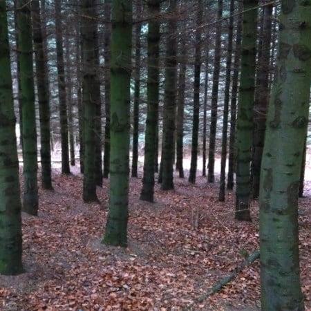 Mellemaldrende nobilis, stamtal 2.700 træer pr hektar