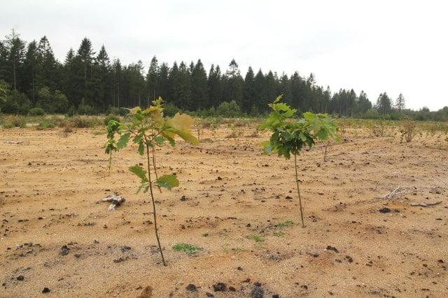 Skovplanter på sandet jord hvor reolpløjning (dybdepløjning) har været anvendt som jordbearbejdning. Ukrudtstrykket på arealet vil være lavt i de kommende år.