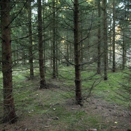 Rødgran med stamtal på 1.950 træer pr hektar