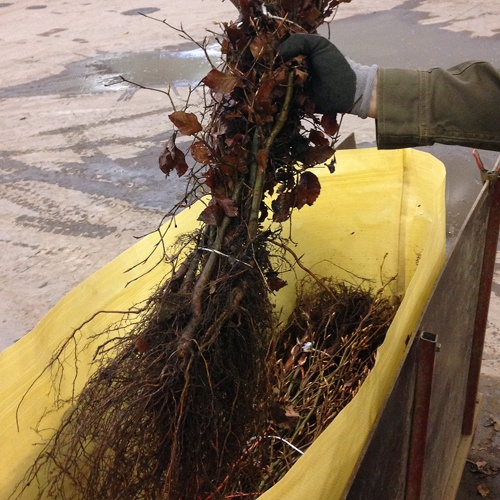 Skovplanters rodhals måles omtrent der hvor snoren holder planterne sammen.