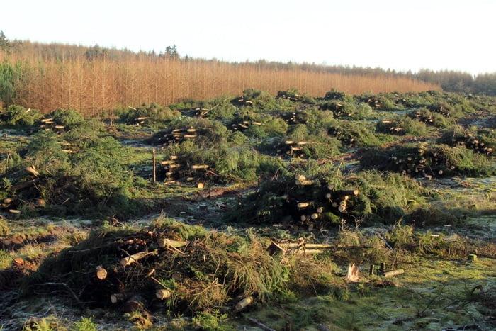 Her er topender fra skovede træer lagt af i stakke på skovningsarealet. De mindre stakke tørre bedre end en stor stak.