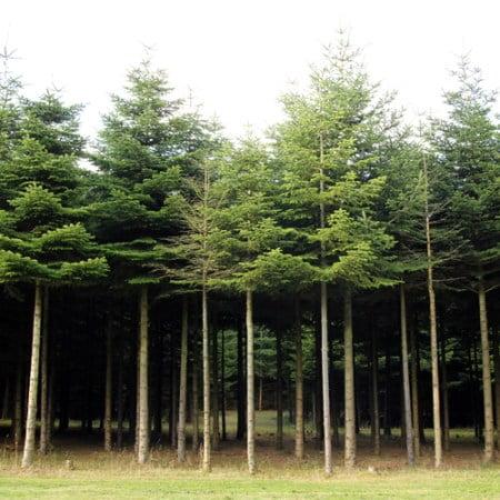 Ung ædelgran, stamtal på 3.700 træer pr hektar