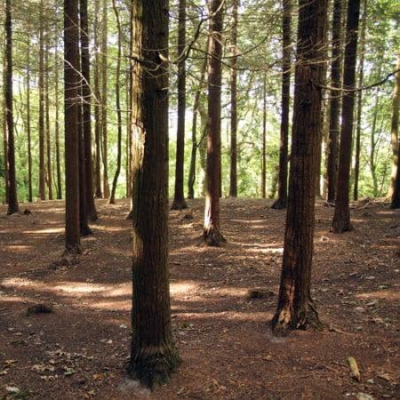 Cypress, stamtal på 1.500 træer pr hektar