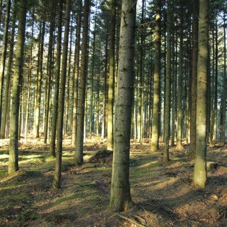 Ældre rødgran bevoksning. Stamtal på 1,150 træer pr hektar